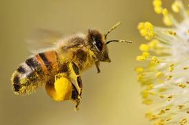 Bee pollen01