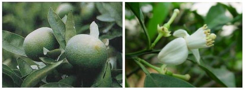 Citrus Aurantium Extract21