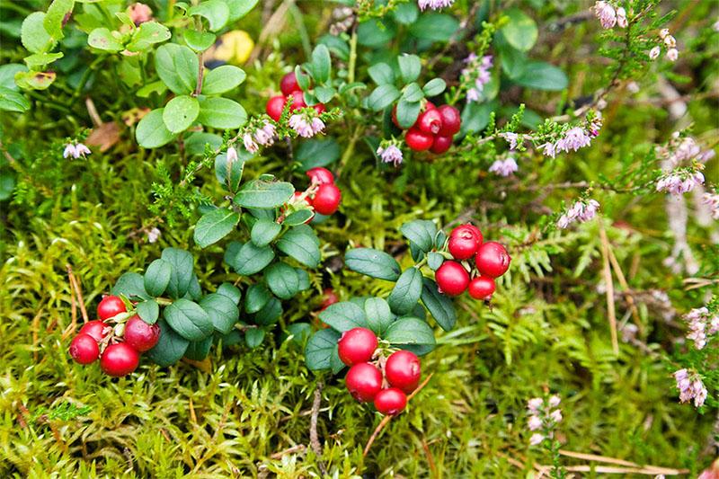 Cranberry extract-02