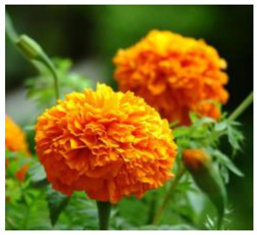 Marigold extract1122211