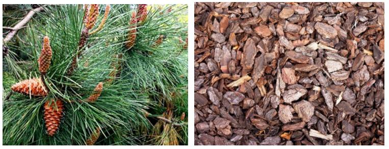 Pine makungwa Extract2211