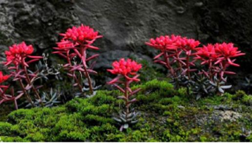 Rhodiola Rosea Extrac221t