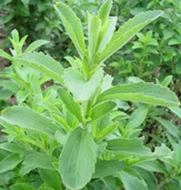 Stevia Extract11